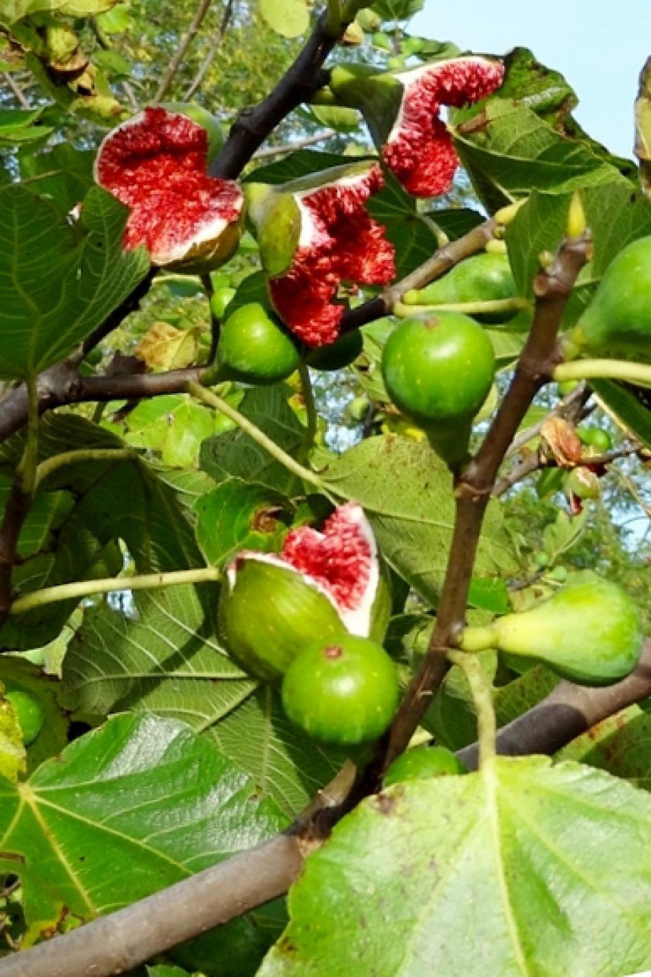 Potare Piante Da Frutta : Potatura fico ficus carica quando come potare