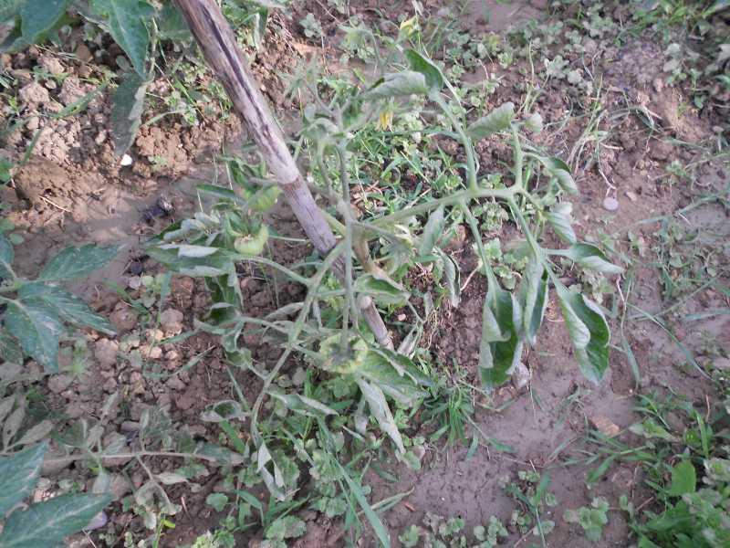 Ortensie Con Foglie Arricciate : Pomodoro foglie arricciate un quadrato di giardino