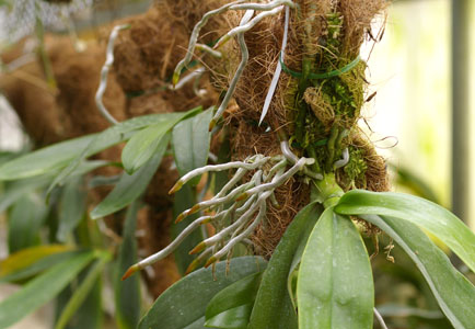 phalenopsis-su-corteccia-di-palma.jpg