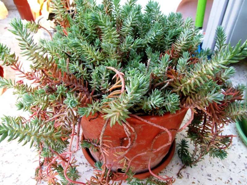 sedum-rupestre-blue-spruce-1.jpg