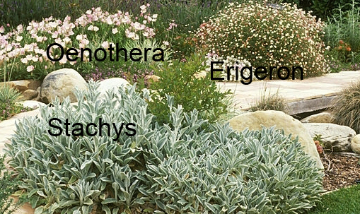 stachys_erigeron_oenothera.jpg