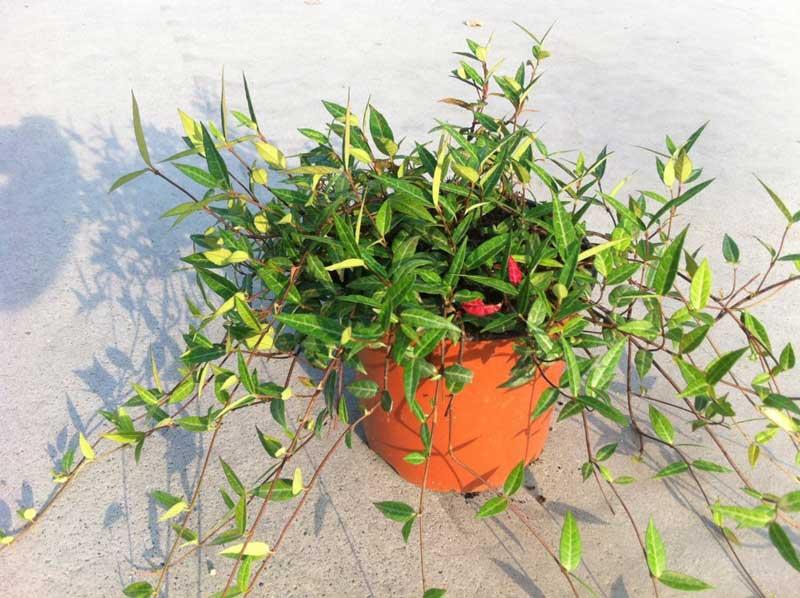 trachelospermum-angustifolia.jpg