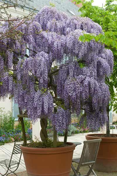 Dubbi su glicine appena piantato wisteria sinensis for Arbusti ad alberello