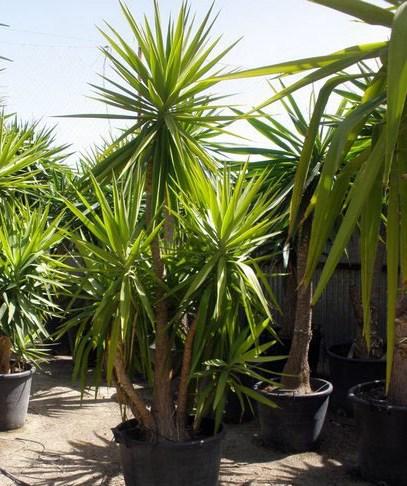 yucca-elefante-yucca-elephantipes-2.jpg