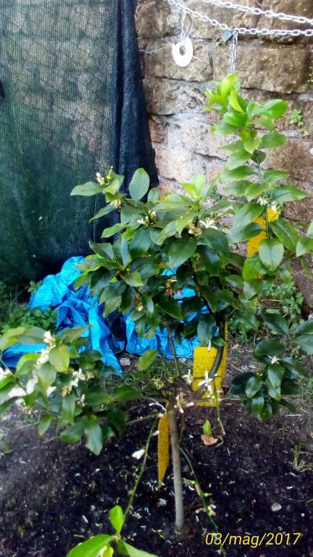 Foglie del mio limone che cadono un quadrato di giardino - Foglie limone nere ...