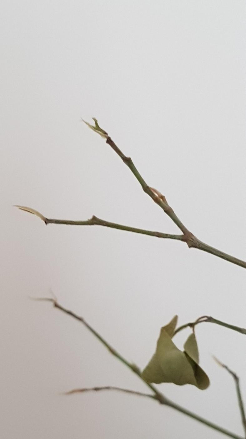 Ficus Benjamin Perde Foglie help ficus perde le foglie - un quadrato di giardino